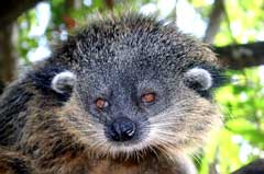 The endemic Palawan Bearcat